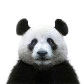 panda bear face isolated on white background
