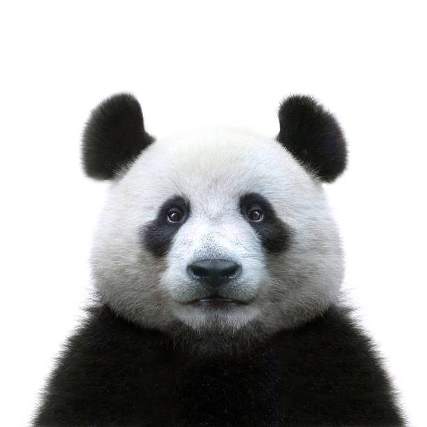 panda bear face isolated on white background - muso foto e immagini stock