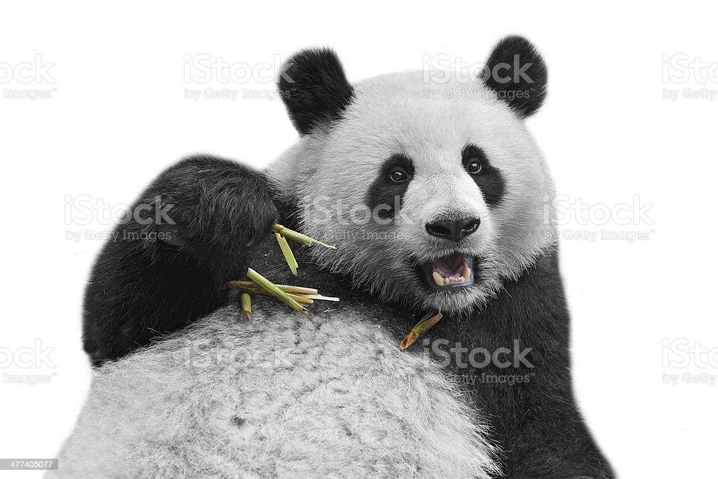 Panda bear isolated on white background stock photo