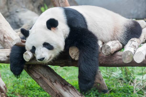 panda bear – Foto