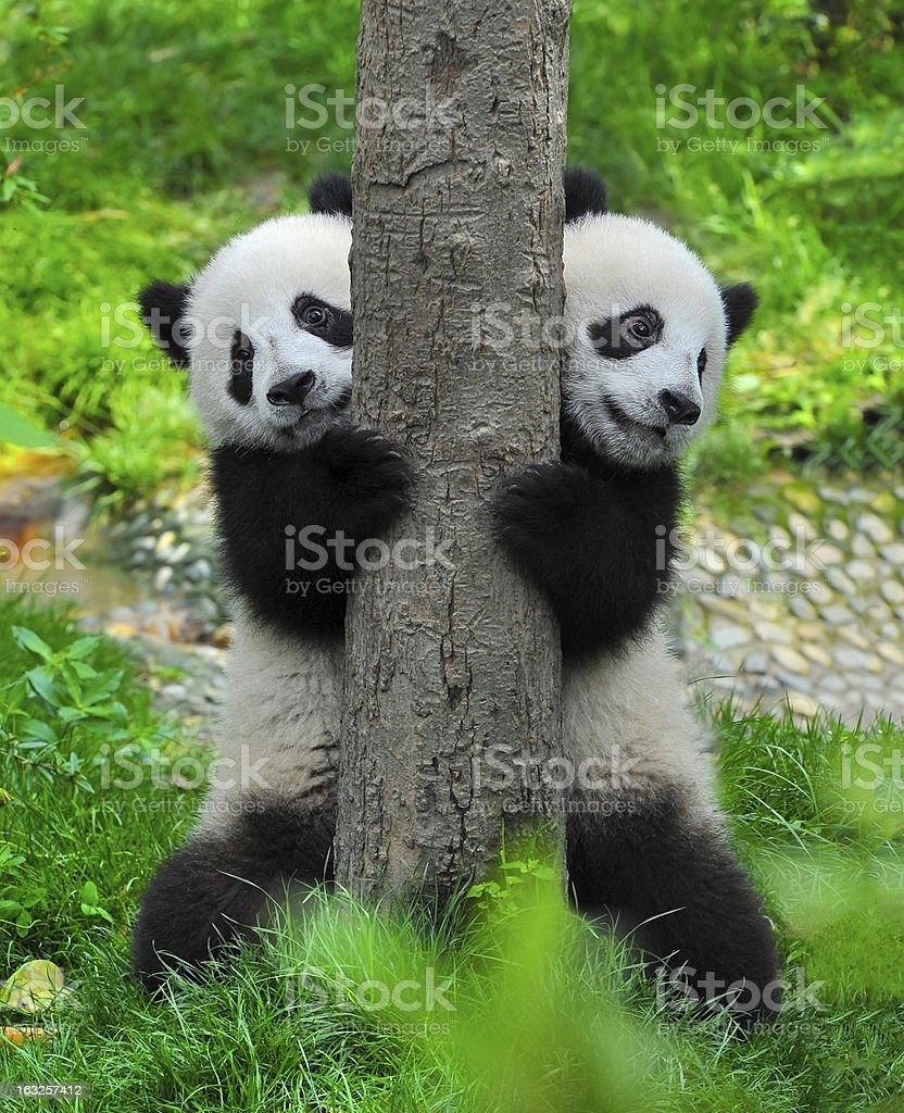 Panda bear twins stock photo
