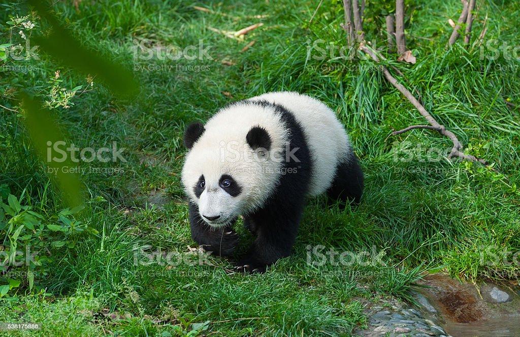 Panda bear walking in forest stock photo
