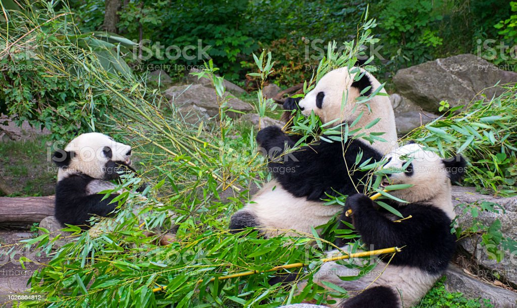 Panda bears eating bamboo stock photo