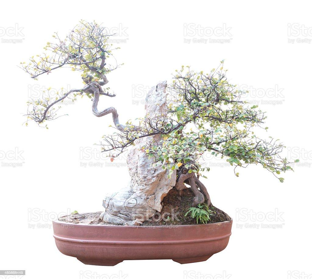 panda bonsai tree, ficus retusa, isolated on white stock photo