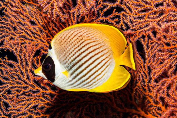 Poisson Papillon Des Philippines Banque D Images Et Photos Libres De Droit Istock