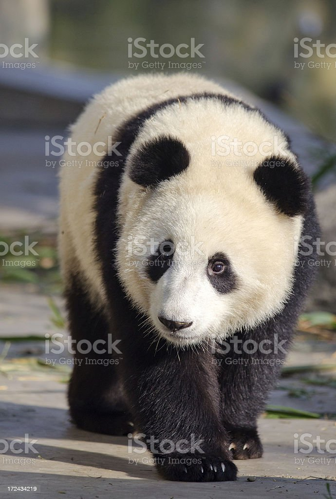 Panda Cub - China WWF Pose stock photo