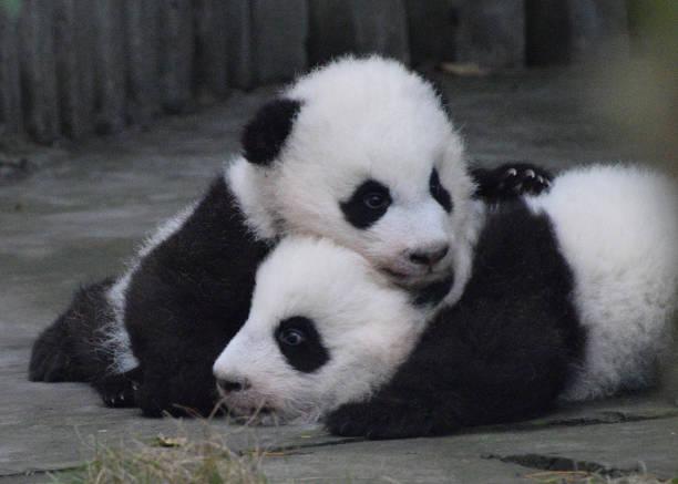 Panda cubs hugging stock photo