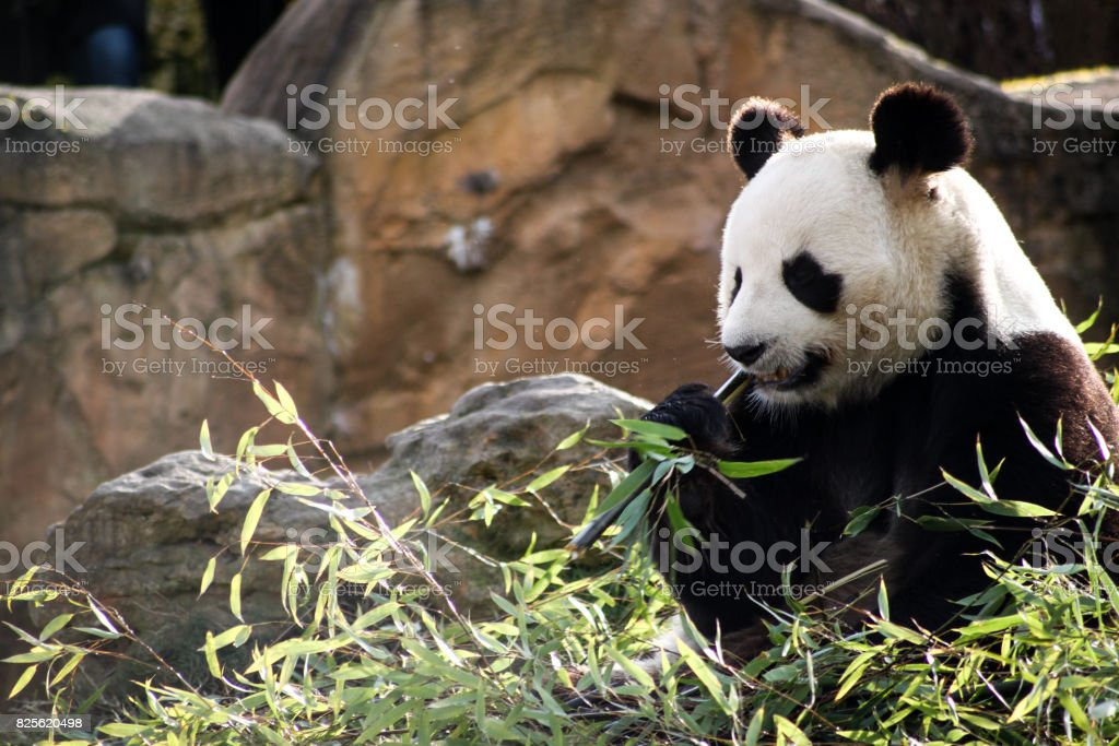 Panda de chine stock photo