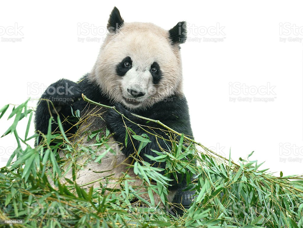 Panda eating bamboo leaves isolated on white with clipping path stock photo