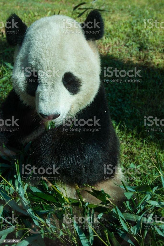 DSC_2405D80 Panda eating bamboo stock photo