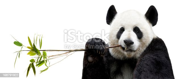 Panda eating bamboo on white background