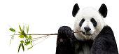 Panda eating bamboo on white background