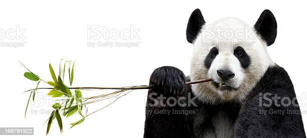 Panda eating bamboo picture id168791922?b=1&k=6&m=168791922&s=612x612&h=eirgjdqifmyq0ejlnv5ri3whsojvxa2wxonnb2uhnpk=