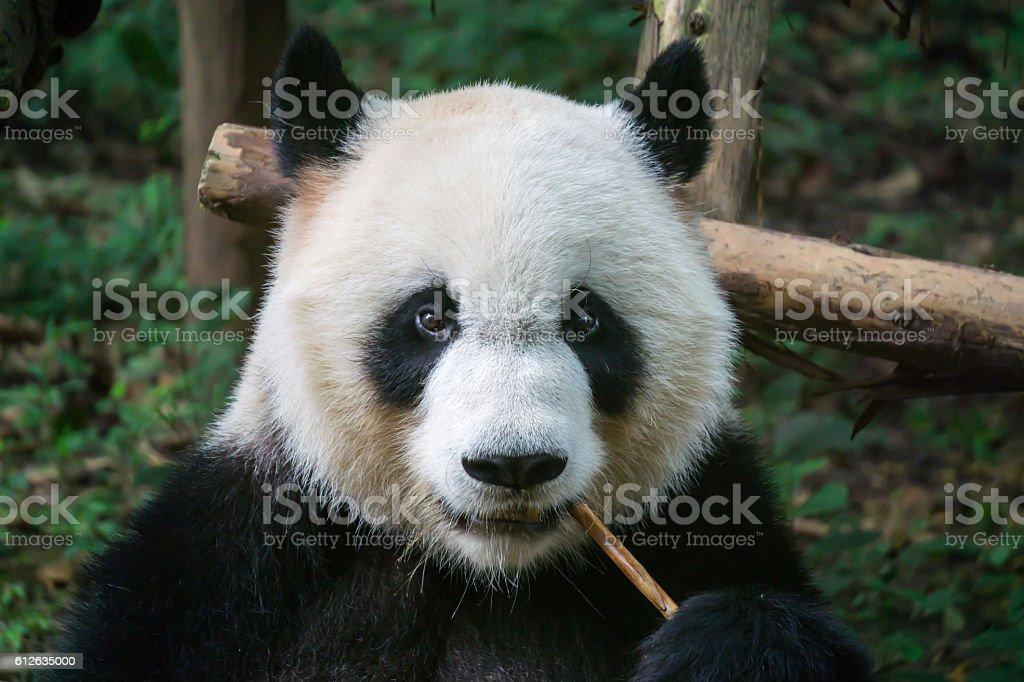 Panda eating bamboo stock photo