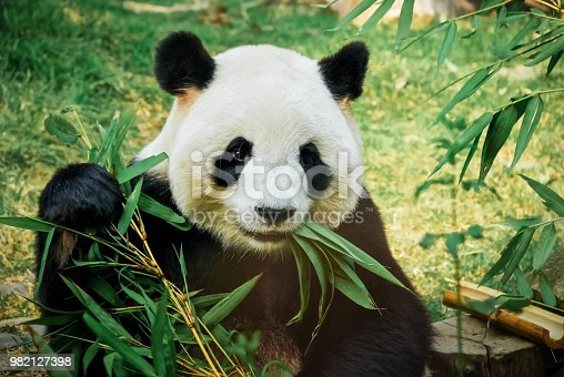 Giant and seat to eat bamboo