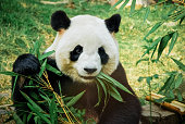 A panda eats a large bamboo stalk.  Kinda looks like it is playing a flute in my opinion.