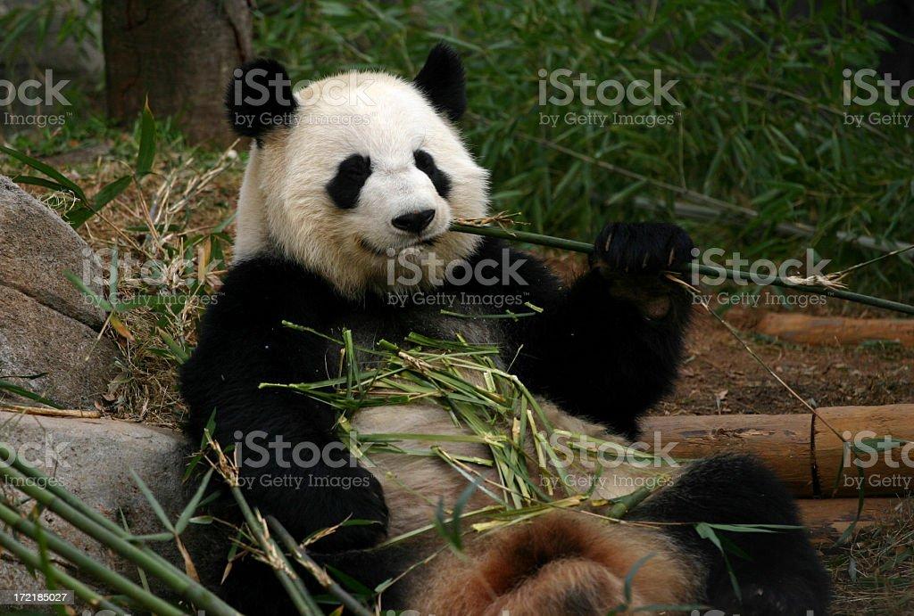 Panda eating royalty-free stock photo