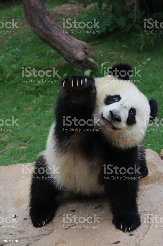 Panda in China stock photo