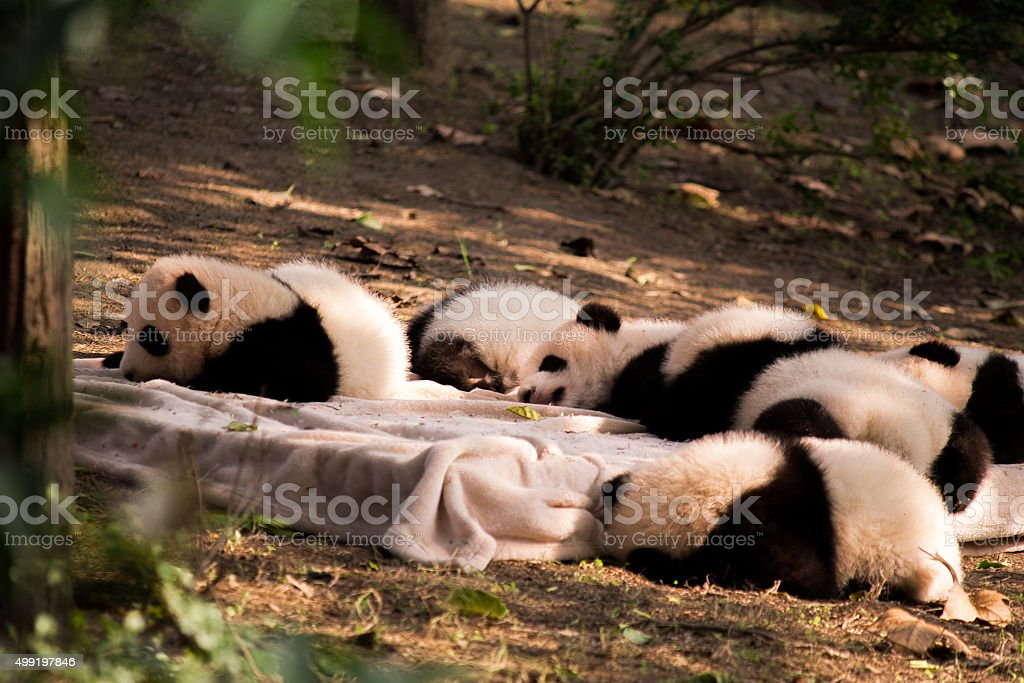 Panda is a national tresure of China stock photo
