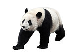 Giant panda isolated on white background. Giant pandas are no longer an endangered species.
