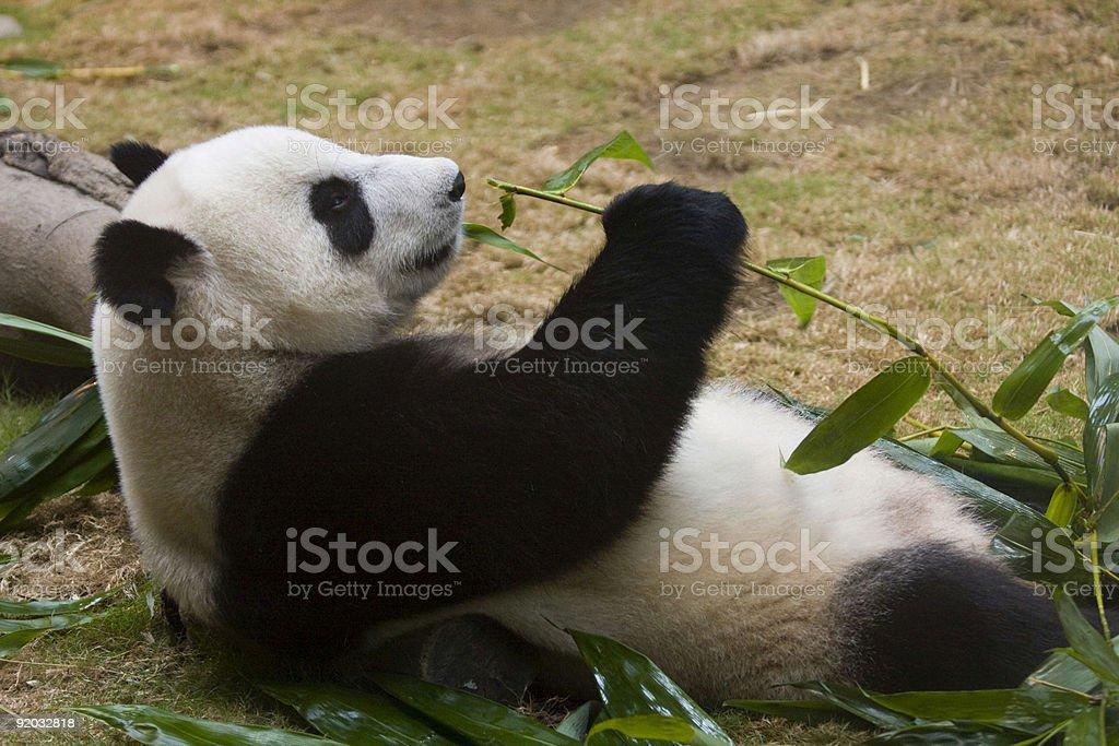 Panda munching on bamboo royalty-free stock photo