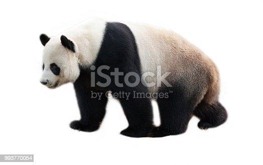istock Panda  on white background. 993770054