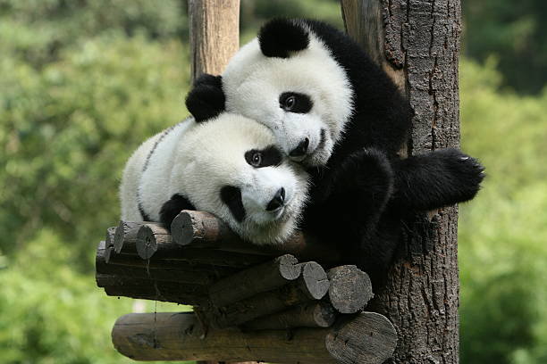 panda - zoo stock pictures, royalty-free photos & images
