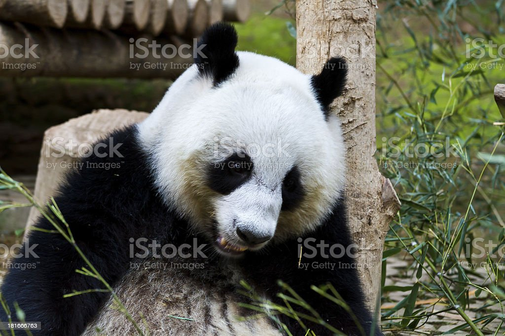 Panda. royalty-free stock photo