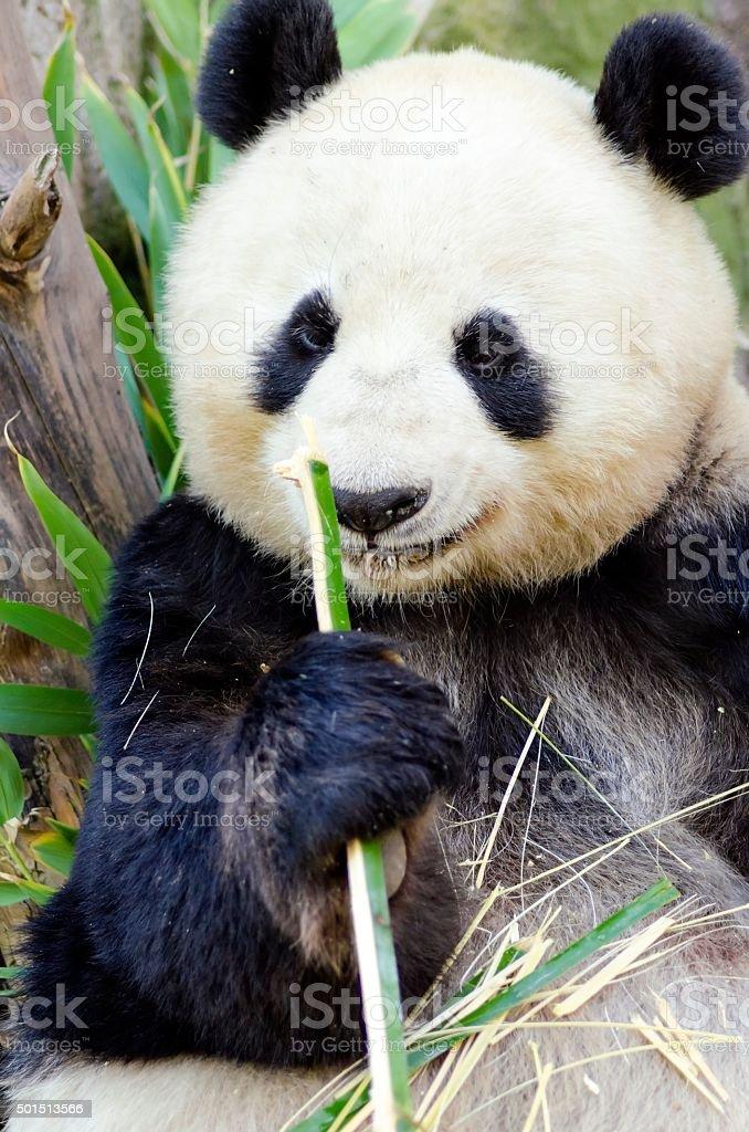 Panda stock photo