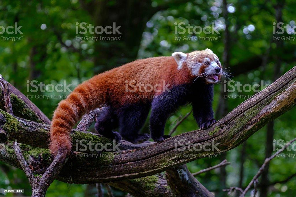 Panda  Lizenzfreies stock-foto