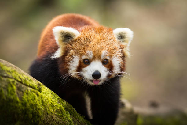 Panda roux - red panda stock photo