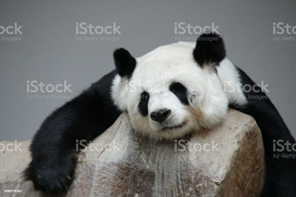 Panda, Thailand stock photo