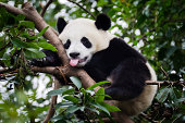 istock Panda with Tongue Out 184987985