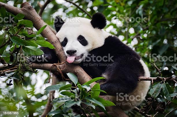 Panda with tongue out picture id184987985?b=1&k=6&m=184987985&s=612x612&h=48fl93m78s3dfrabpyqtxenumcrsbmoauv1a7jv1qyw=