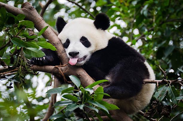 panda avec languette - panda photos et images de collection