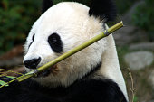Picture of giant Pandabear eating bamboo