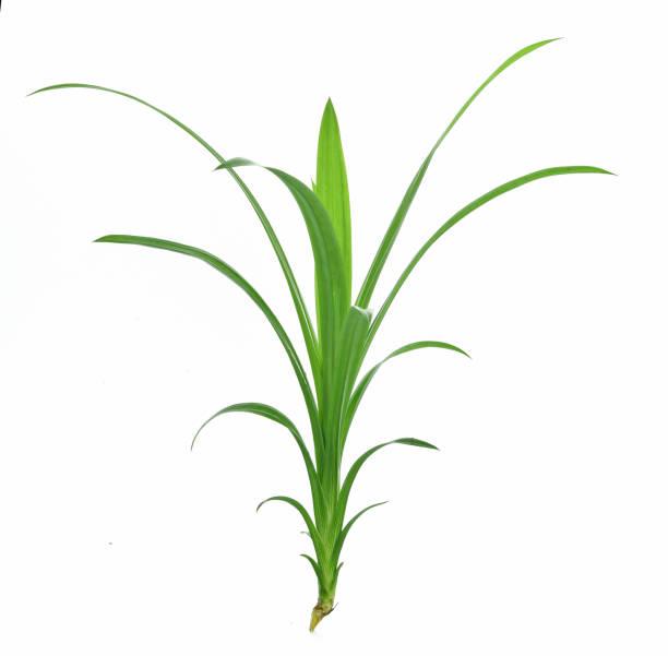 pandan leaves isolated on white background - pandan składnik zdjęcia i obrazy z banku zdjęć