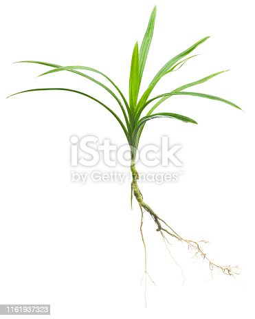 175407085 istock photo Pandan stem with roots isolated. 1161937323