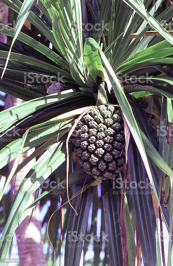 Pandanus Fruit on Majuro Atoll Marshal Islands Micronesia stock photo