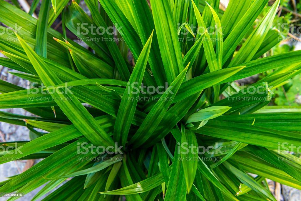 pandanus leaf stock photo