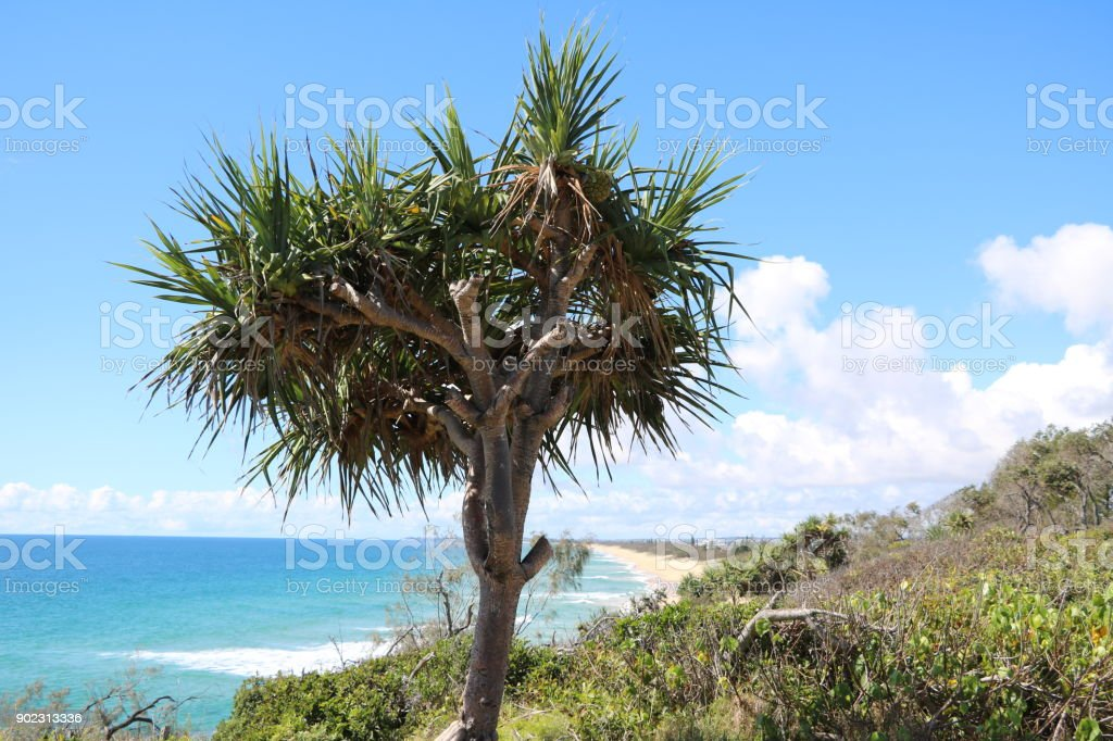 Pandanus Pedunculatus in summer at Sunshine Coast, Queensland Australia stock photo
