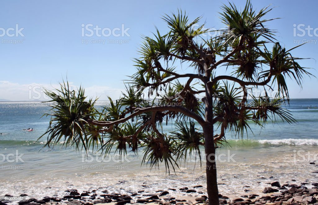 Pandanus trees foto stock royalty-free