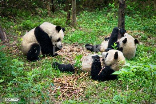 Group of  pandas eating bamboo shoots