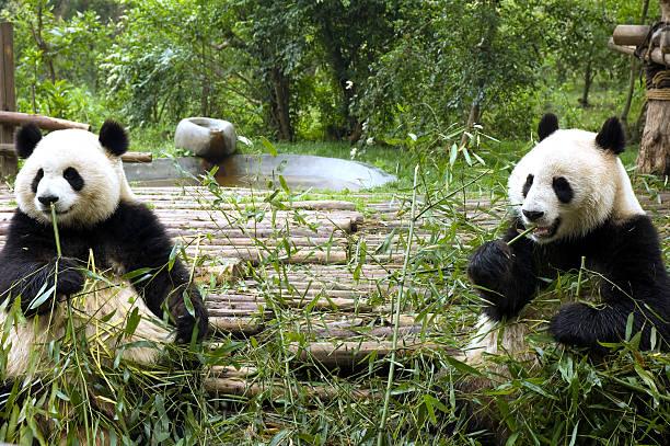 pandas feeding stock photo