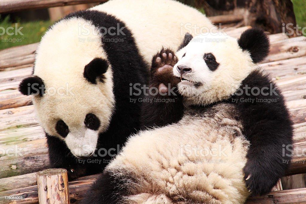Pandas royalty-free stock photo