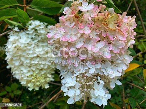 panicle hydrangea paniculata