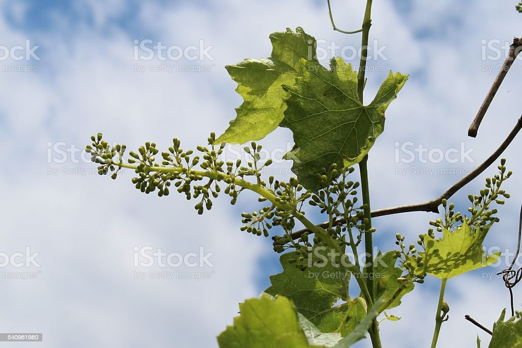 panicle with young berries stock photo