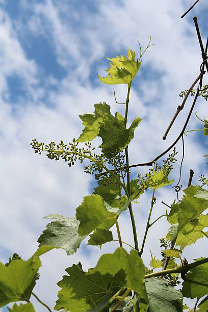Panicle with young grapes stock photo