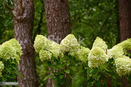Summer: Ornamental garden large group of flowering White Hydrangea paniculata standing between the trees.