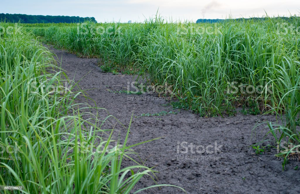 Panicum virgatum, commonly known as switchgrass, Farm production of switchgrass for biomass stock photo